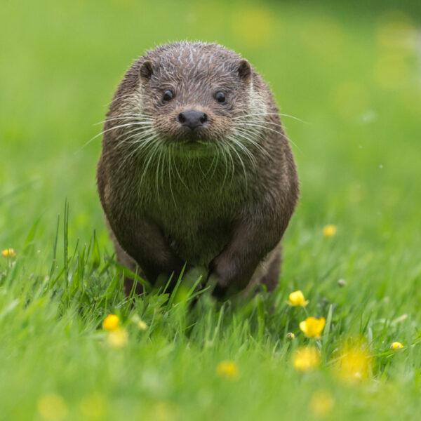 Running Otter, British Wildlife Centre