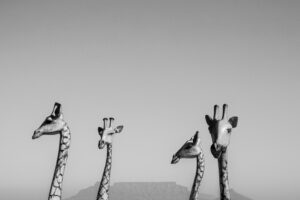Four Giraffes, Cape Town, South Africa