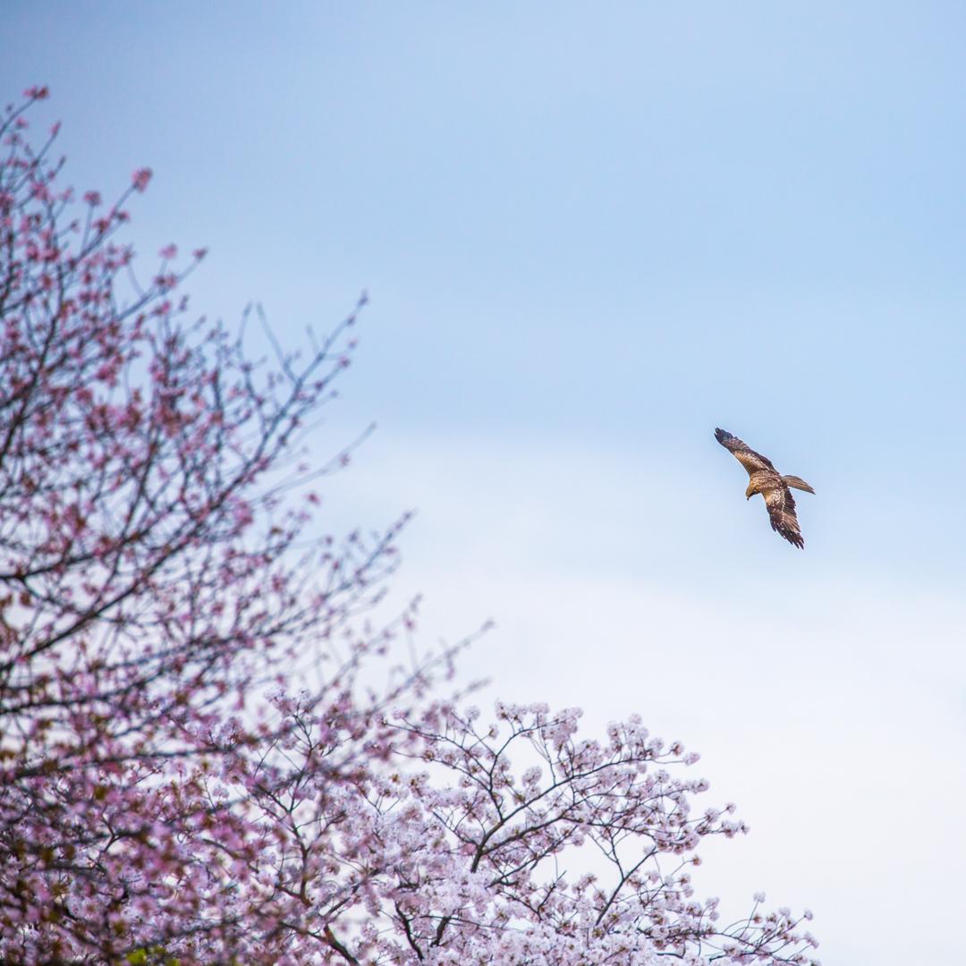 Black Kite with Sakura