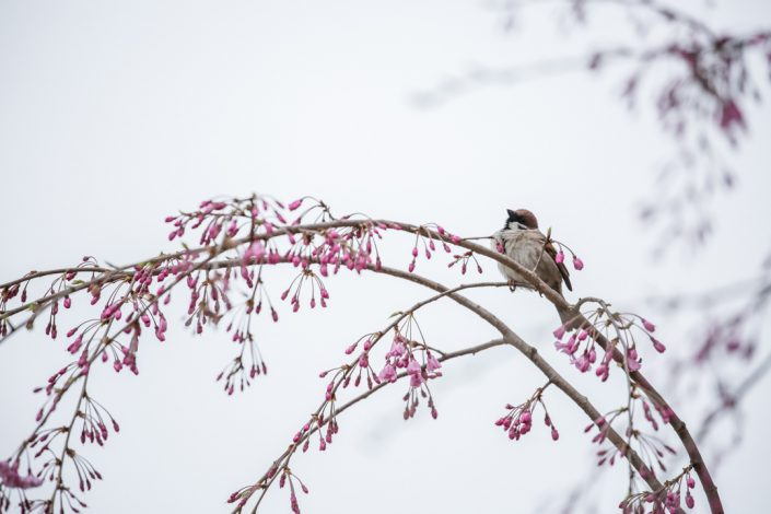Sparrow With Sakura