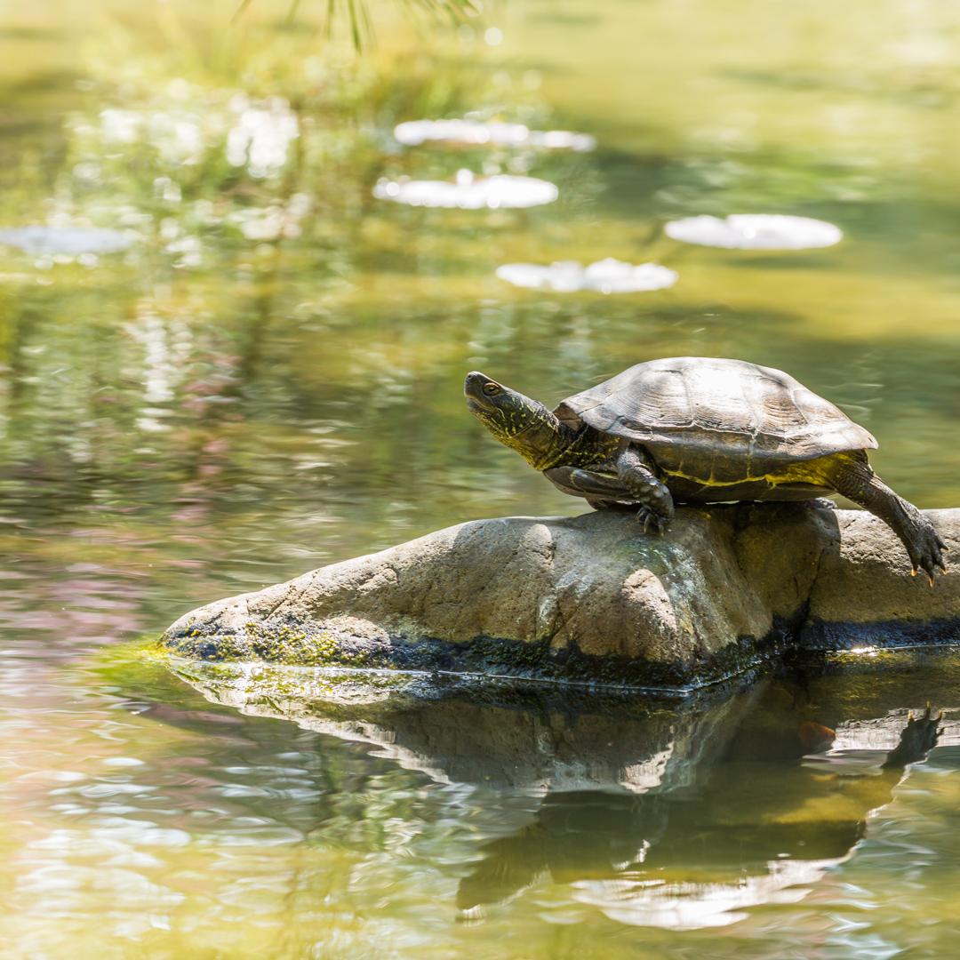 Turtle Basking on Rock, Heian Shrine Garden