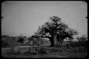 Baobab, Mapungubwe