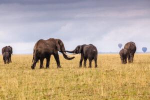 Elephant Greeting, Maasai Mara, Kenya